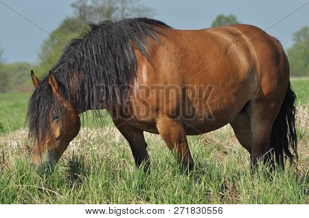 Workhorse. Grazing In The Pasture. Meadow In The Valley Of The Bug.