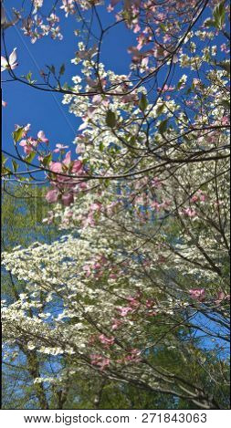 Spring Blossoming On A Clear Day In Kentucky.