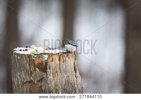 Image Of Beautiful Sitta Europaea Sakhalinensis Bird Or The Nuthatches Constitute A Genus, Sitting O