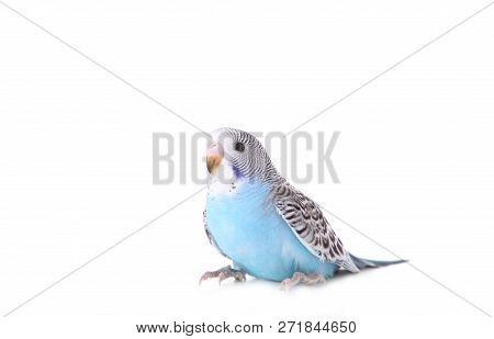 Little Wavy Parrot On White Background. Isolated Budgerigar.