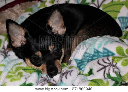 Adorable Little Chihuahua Snuggled Up In Her Blanket.