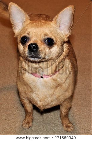 Spirited Little Tan Chihuahua Challenging You Not To Pay Attention To Her.