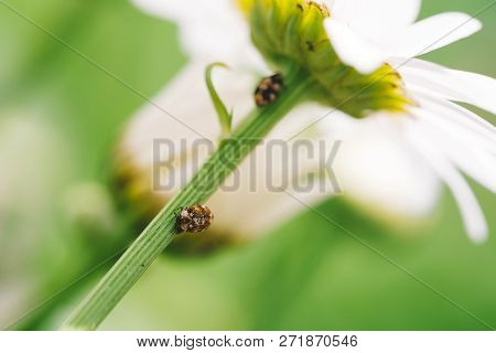 Small Anther Crawls On Stem Of Daisy In Macro. Spotted Brown Beetle On Stalk Of Romantic Flower With