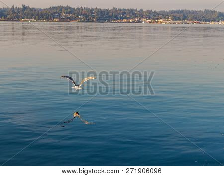 Seagull Flying Over Water With Reflection And Shore In The Distance