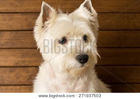 The West Highland White Terrier Sits Against A Wooden Wall. Close Up.