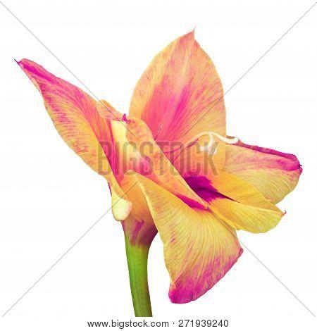 Flower Magenta  Yellow Gladiolus Isolated On White Background. Flower Bud Close Up. Flower Bud On A