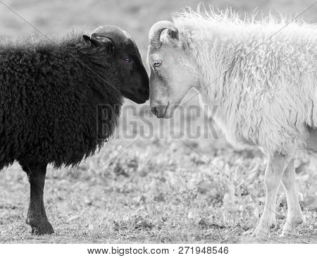 Black And White Icelandic Sheep On Pasture -  Concent Of Love Or Racism