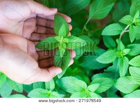 Closeup Woman Hand Holding Fresh Pepper Mint In Pot, Herb And Health Care Concept