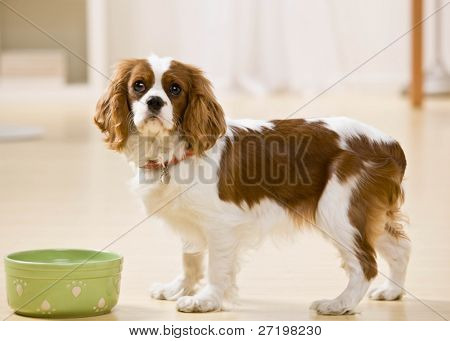 Hungry dog eating food from bowl poster