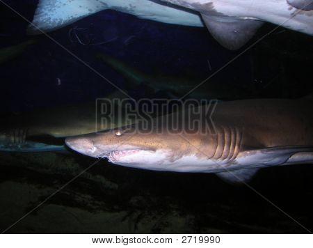 shark in Under water world Sentosa Singapore poster