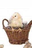 Cute little fluffy chicken sitting on the edge of a basket poster