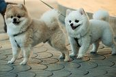 They are so lovable. Pomeranian spitz dogs walk on leash. Pedigree dogs. Dog pets outdoor. Cute small dogs playing together. Pet care and animals rights. poster