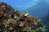 Colorful Reef in Kona Hawaii with Moorish Idol and Raccoon Butterflyfish poster