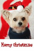"""CUTE Small dog Christmas. A Morkie half Maltese - Yorkie dog smiles for his Christmas Portrait.  Dog wears a Santa Claus hat with text that reads """"Merry Christmas"""" Text is replaceable with your own. poster"""