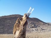 camel and water in bedouin village poster