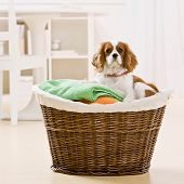 Dog curled up in basket of laundry poster