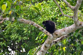 Black Howler Monkey, Genus Alouatta Monotypic In Subfamily Alouattinae, One Of The Largest Of New Wo