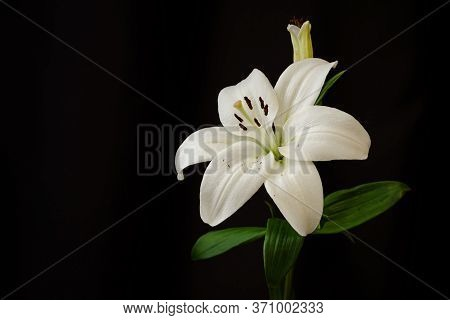 Beautiful White Lilies On A Black Background Close-up. Three Flowers On One Branch. Lilies In The Br