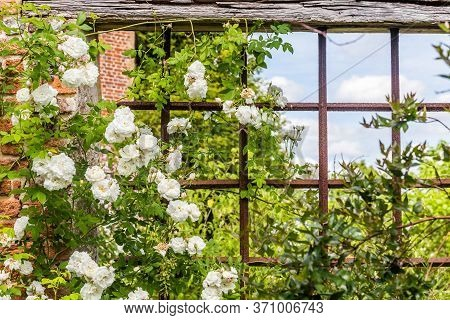 Old British Rose Garden With Romantic Roses During Spring
