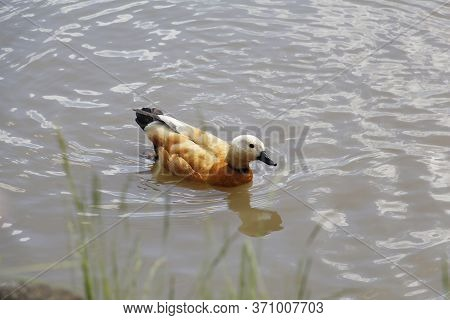 One Duck Swims In A Pond. Duck In A City Park. The Bird Swims In The Water. Nature And Birds In The
