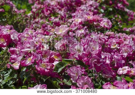 Bush With Tea Rose Flowers In The Sun. Withering Pink Flowers. Natural Background. Selective Focus.