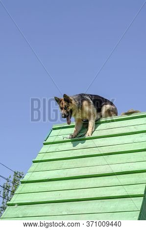 Training With Pets At A Special Training Site. The German Shepherd Overcomes The Obstacle Course. Tr