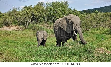 Mom Elephant And Her Baby Graze Peacefully On The Green Grass In The Masai Mara Park, Kenya. Wrinkle