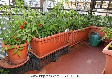 Example Of Urban Agriculture Or  Urban Farming Or Urban Gardening In The City With Pots Of Tomato In