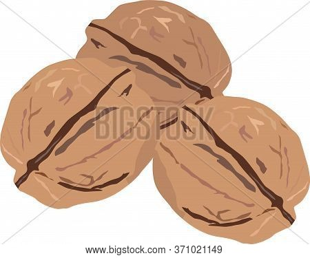 Walnuts Three Pieces Isolate On White Vector Drawing