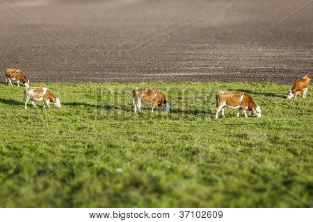 An image of some nice eating cows