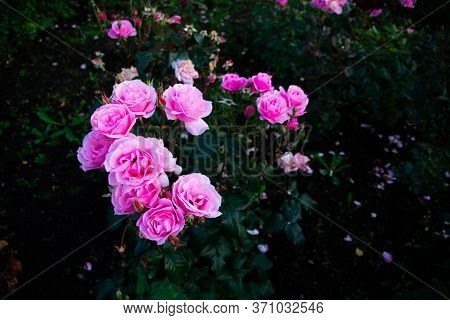 Bushes Of Wild Pink Roses. A Few Of The Flowers.
