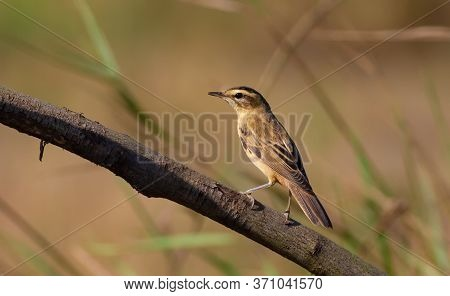 Sedge Warbler, Acrocephalus Schoenobaenus. In The Early Morning, The Bird Flew Out Of The Reeds And