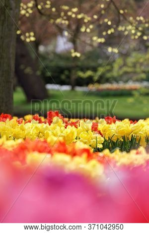 Mix Of Red And Yellow Tulips In A Field With Unsharp Grass And Tree Background. Selective Focus, Sha