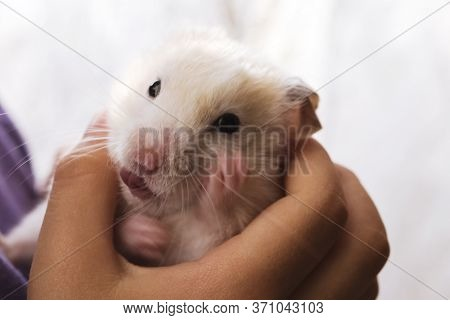 Gorgeous Charming White Hamster Sitting Conceived In Childrens Hands, Attentiveness And Caring Attit