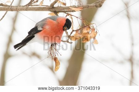 Common Bullfinch, Pyrrhula Pyrrhula. A Frosty Winter Day. A Male Bird Sits On A Branch And Eats Seed