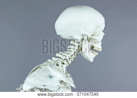 Cervical spine section  of human skeleton model - modern, typical human  at  office work - occupational disease