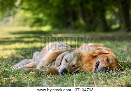 View of two dogs lying - Golden Retriever