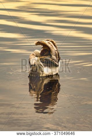 Beautiful Swan With Reflection In The Water In The Morning Sunlight.close View
