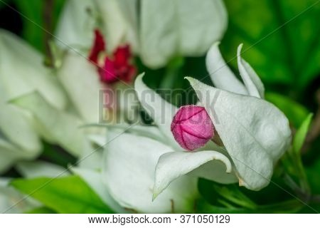A Macro Shot Of A Royale Red White Flower With Leaves. Also Called White Bleeding Heart Or Glory Bow