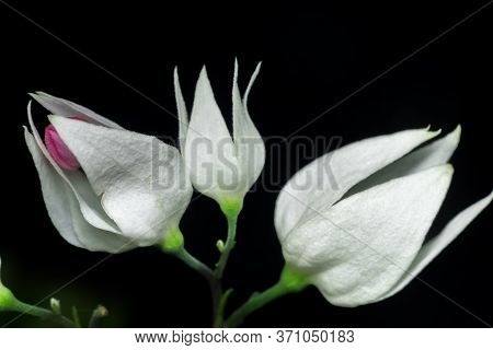 A Macro Shot Of A Royale Red White Flower In A Dark Background. Also Called White Bleeding Heart Or