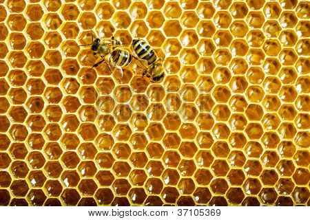 bees work on honeycombs with sweet honey