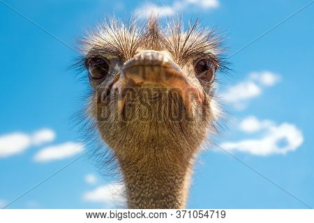 Head Of Ostrich On Clear Sky Backdrop. Beak Of Ostrich. Portrait Of Ostrich Head. African Ostrich Lo