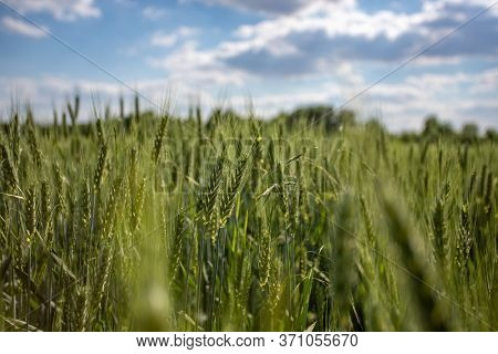 Wheat field landscape with path and blue sky in the summer, Hungary