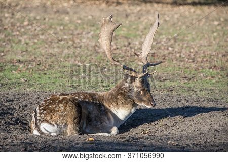 A Fallow Deer Stag During The Rutting Season Takes A Rest