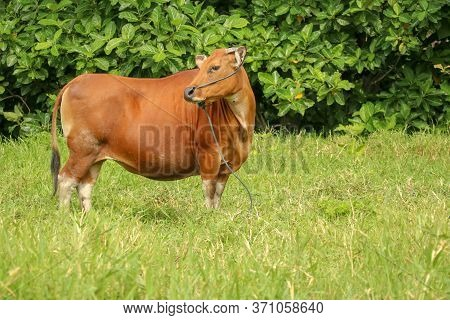 Brown Cow Standing In Green Field With Tall Grass. Adult Heifer Looks Into The Camera Lens. Beef Cat