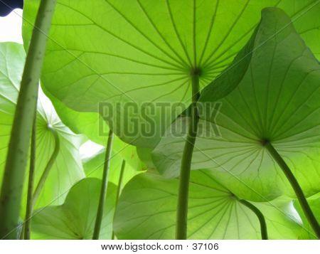 Underneath Lotus Leaves