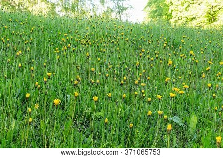 Dandelion In Green Grass. Beautiful Spring Panoramic Shot With A Dandelion Meadow. Field Of Dandelio