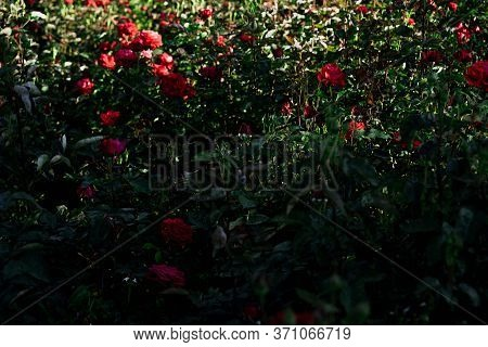 Glade Of Growing And Blooming Roses.glade Of Growing And Blooming Roses