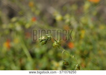 Rockrose Ben Heckla Flower Bud - Latin Name - Helianthemum Ben Heckla