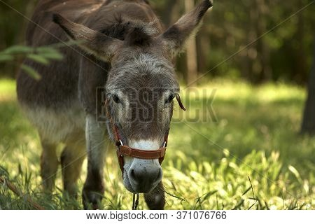 Donkey Graze In A Green Meadow. Eats Grass. A Close Up Photo Of A Donkey Face.